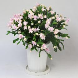 デンマークカクタス_tk_white_rose.JPG