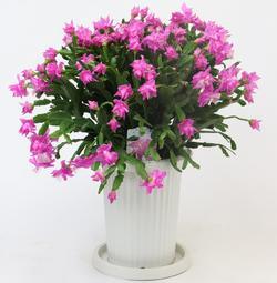 デンマークカクタス_tk_pink_rose.JPG