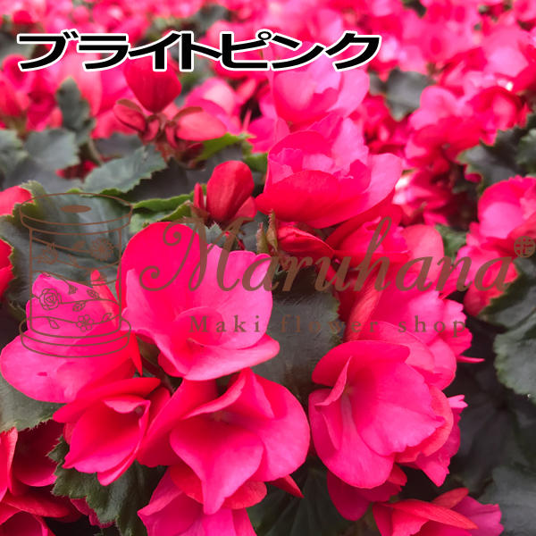 begonia-dp.jpg