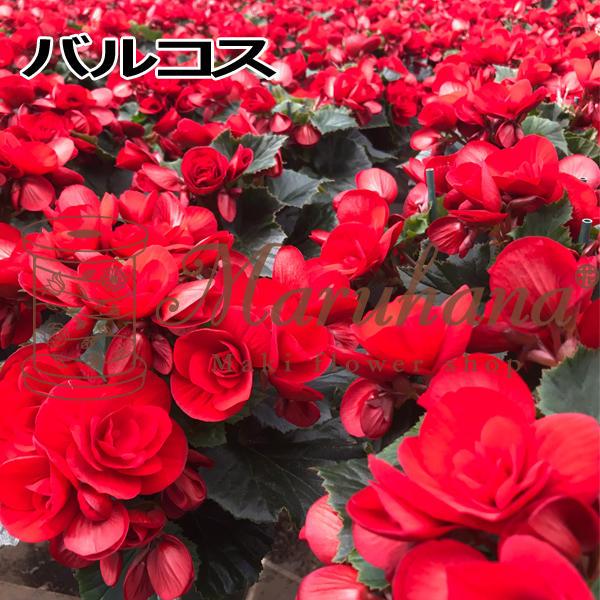 begonia-r.jpg
