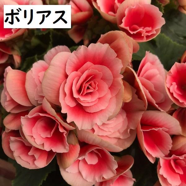 begonia-b.jpg